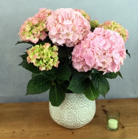 Hydrangea Gift Plant Pink features clusters of blooms planted in a ceramic container