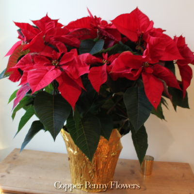 Holiday Poinsettia