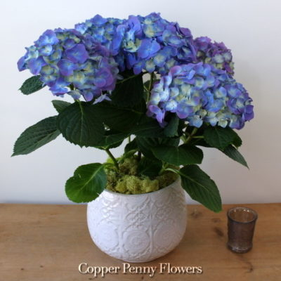 Hydrangea Gift Plant