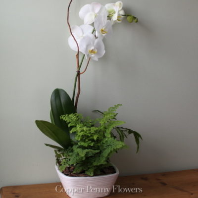 Elegant Orchid features a dendrobium orchid with plants in a ceramic container