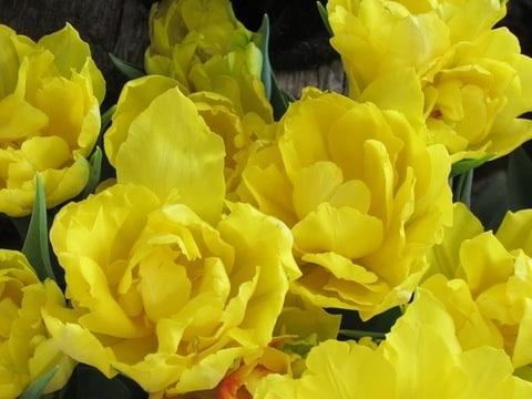 1-double-yellow-tulips