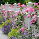 White fence, pink roses, sage (salvia) catmint and lady's mantle bordering sidewalk on house entrance