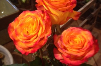 Not Your Grandmother's Roses: Circus