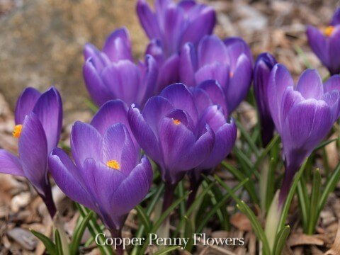 purple crocus flowers for a customer in Carlisle MA